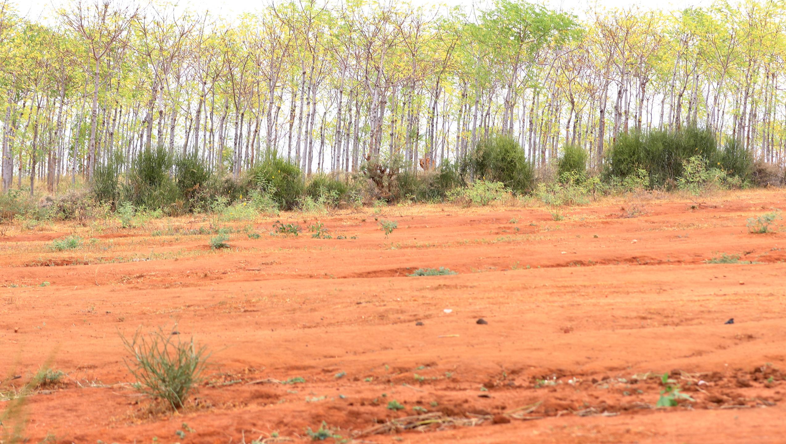 Treplanting i semiørkenen